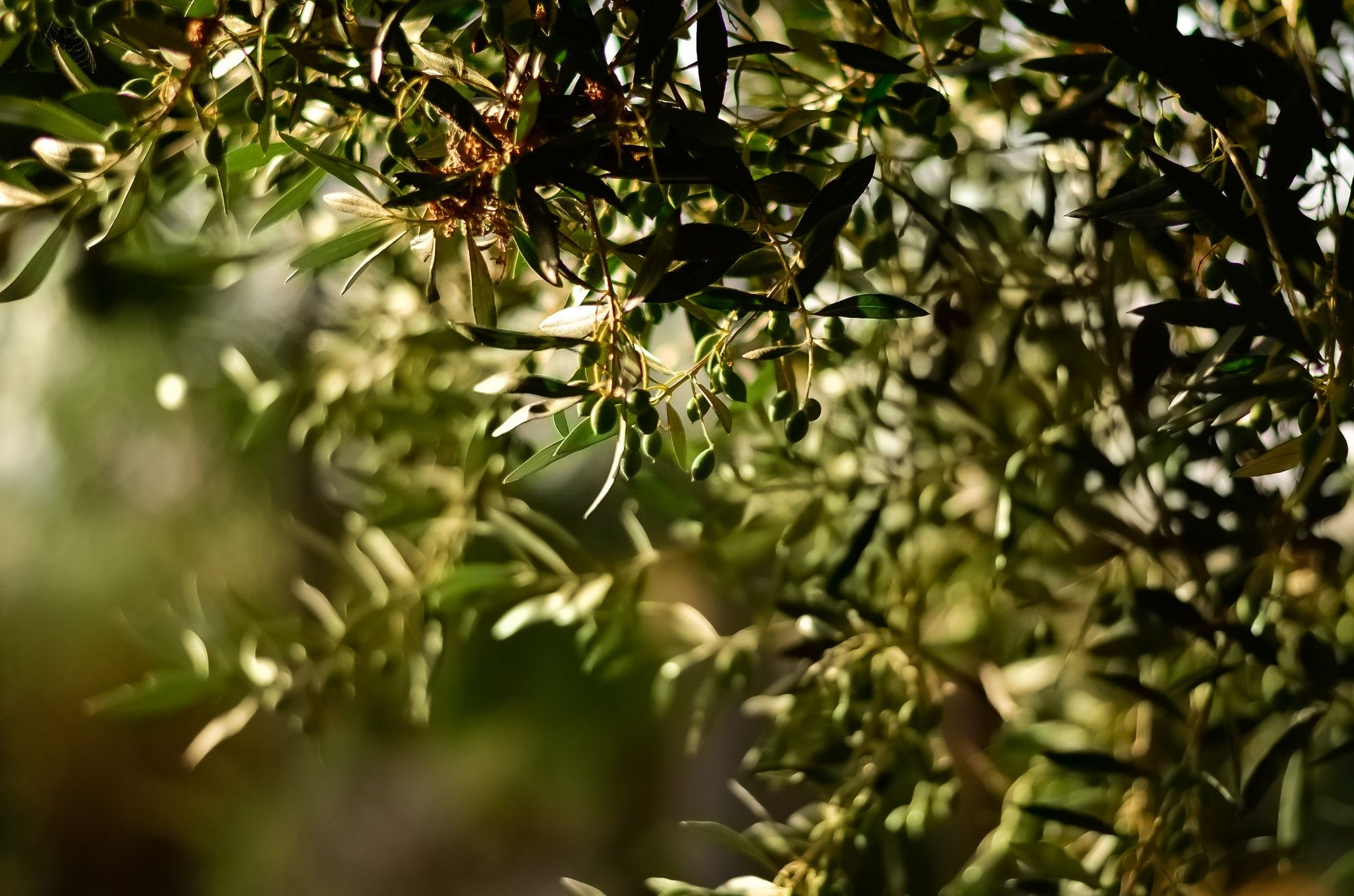 ¿Cuáles son las aceitunas Malagueñas más destacadas?